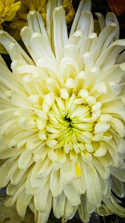 A flor branca do crisântemo imagens de stock