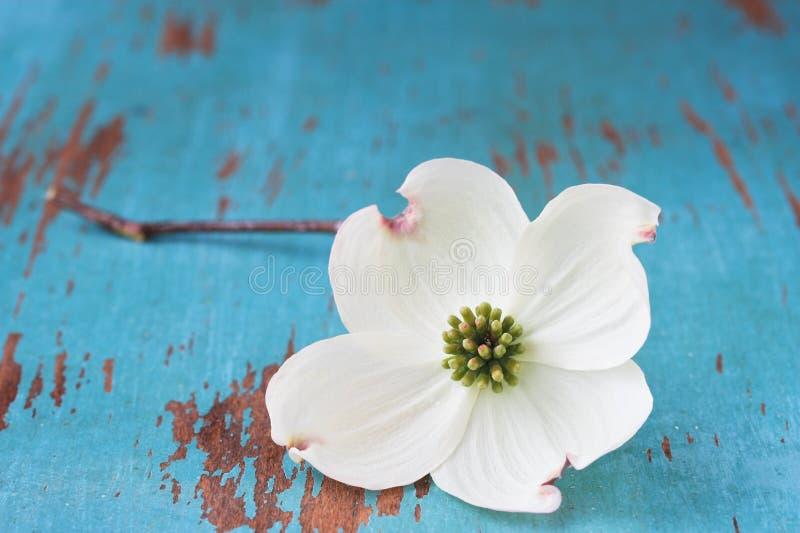 Flor branca do Dogwood foto de stock