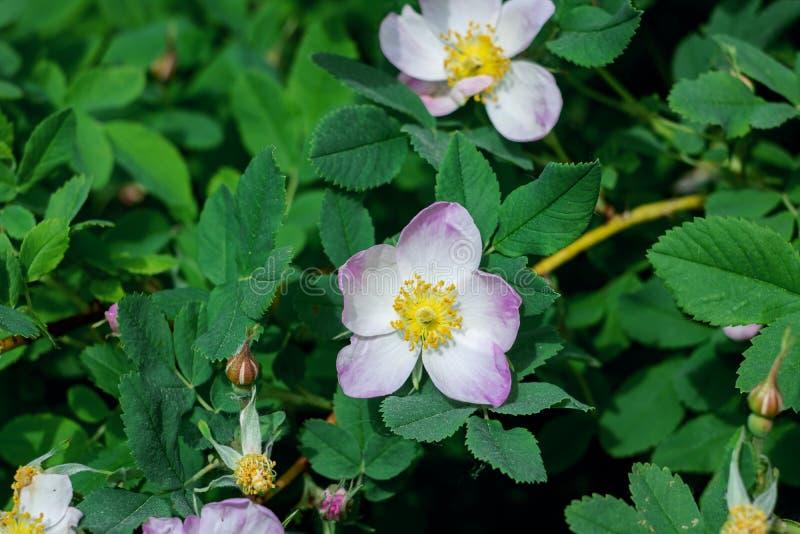 Flor branca do fim da cão-rosa acima foto de stock