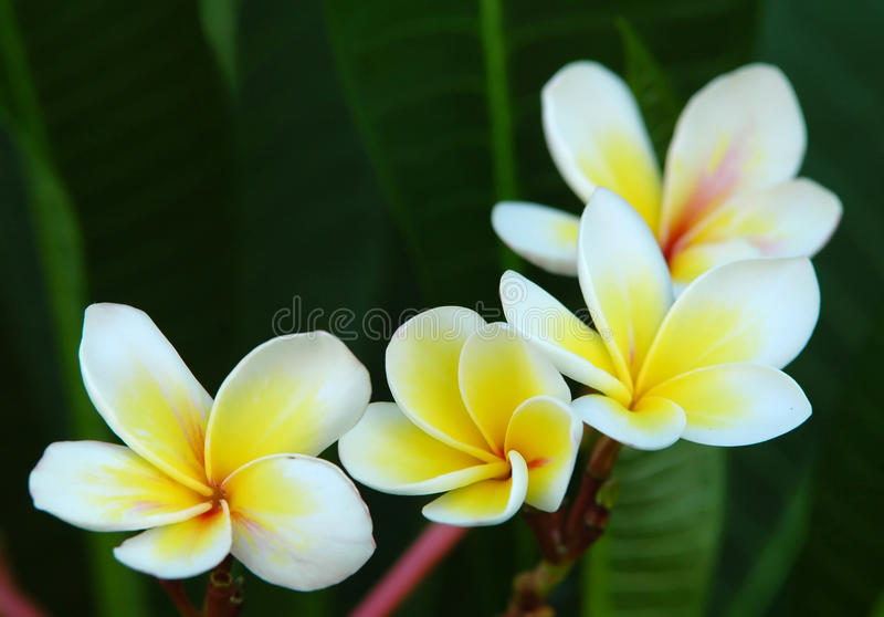 Flor branca do Frangipani fotos de stock