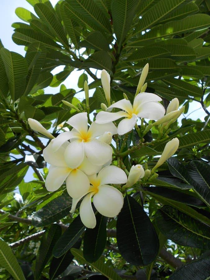 Flor branca do Frangipani no dia o mais quente fotografia de stock royalty free