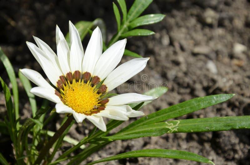 Flor branca do gazania fotografia de stock