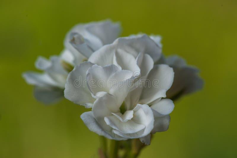 Flor branca do gerânio no verde fotografia de stock royalty free