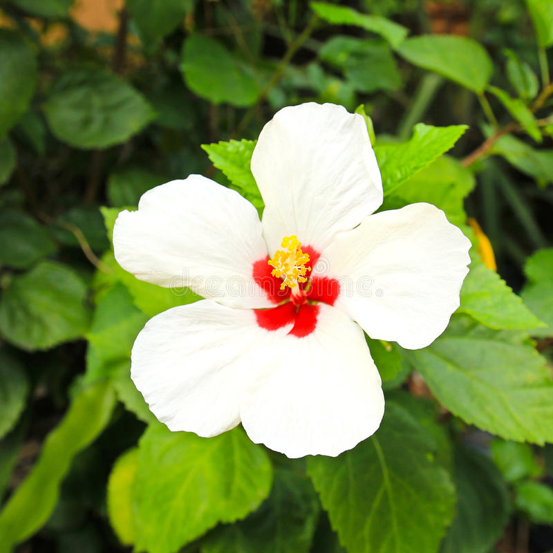 Flor branca do hibiscus fotografia de stock royalty free