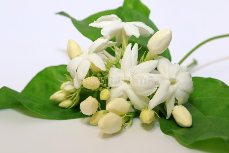 Flor branca do jasmim na planta do jasmim foto de stock