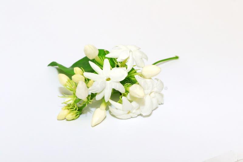 Flor branca do jasmim na planta do jasmim imagem de stock