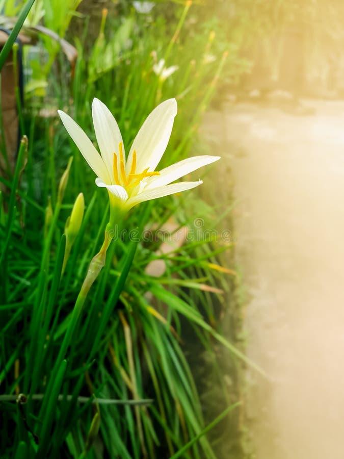 Flor branca do lírio da chuva com folhas e botões do verde fotos de stock royalty free