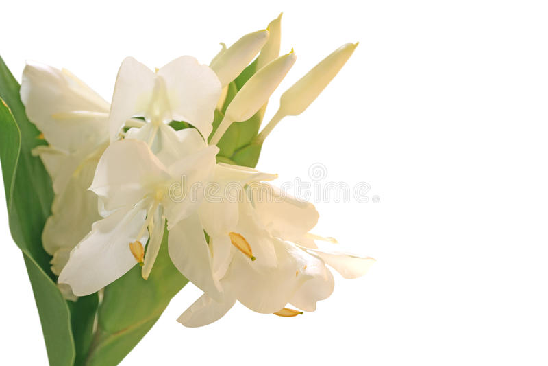 Flor branca do lírio do gengibre fotos de stock royalty free
