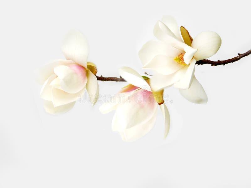 Flor branca do magnolia imagens de stock royalty free