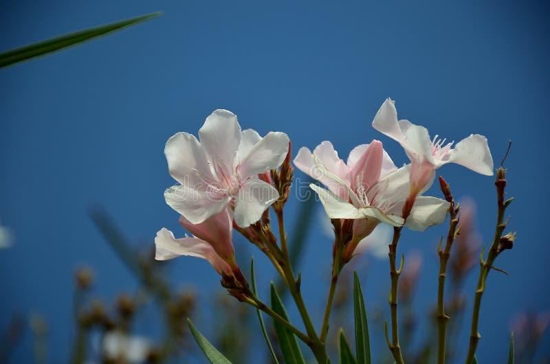 Flor branca do oleandro na flor do verão imagem de stock