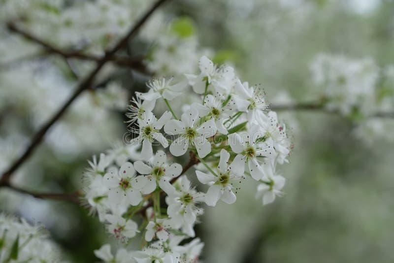 Flor branca do pulverizador bonito do Allium fotografia de stock