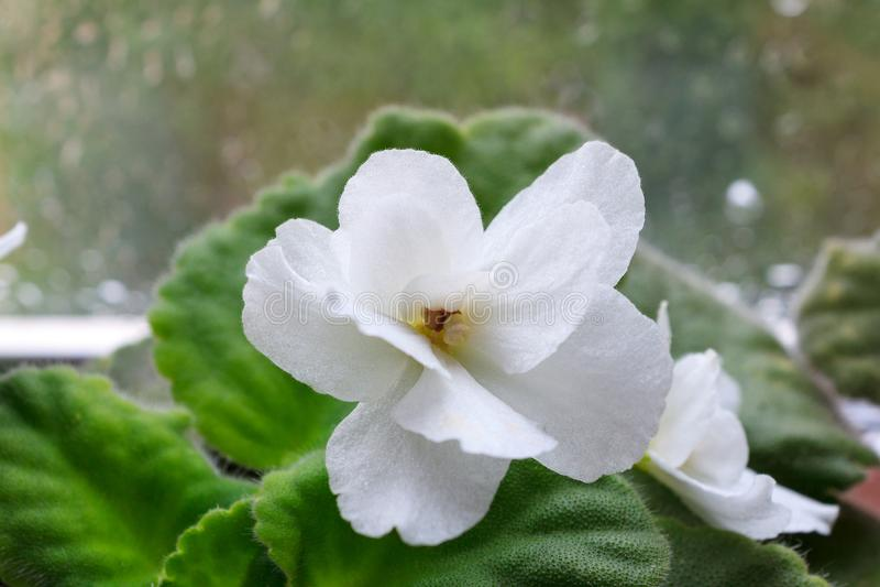 Flor branca do Saintpaulia do Houseplant, violeta africana, na flor fotografia de stock royalty free