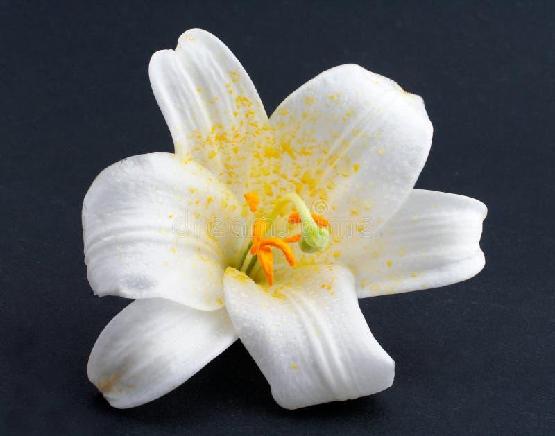 Flor branca do tiro macro fotografia de stock