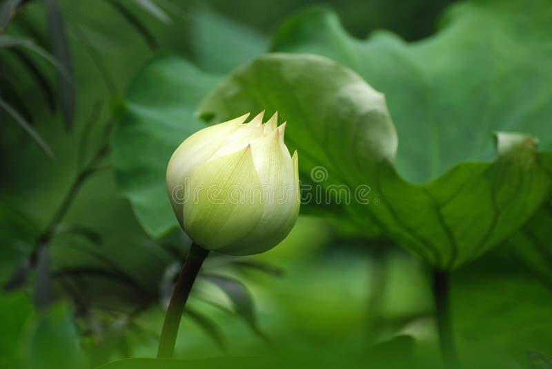 A flor branca dos lótus fotos de stock