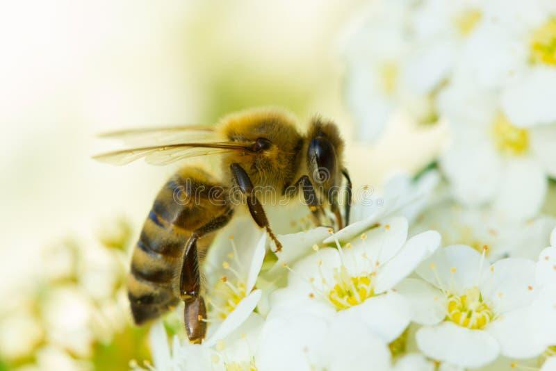 Flor branca e abelha da mola Abelha em uma flor imagem de stock royalty free