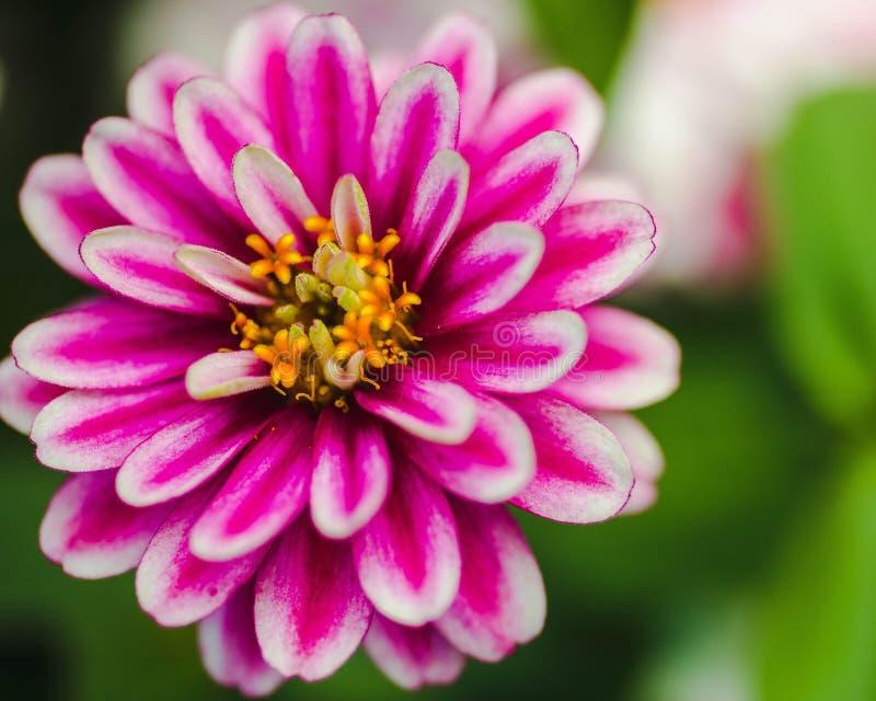 Flor branca e amarela cor-de-rosa fotografia de stock