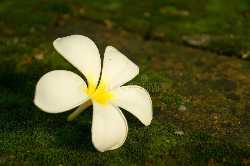 Flor branca e amarela da flor do Plumeria no assoalho fotos de stock royalty free