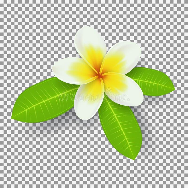 Flor branca e amarela do plumeria isolada em transparente ilustração do vetor
