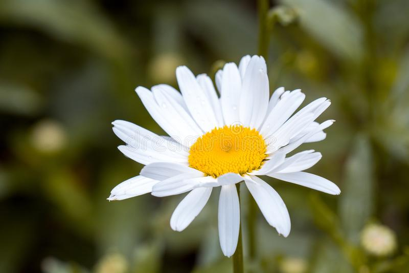 Flor branca e amarela na fotografia disparada macro foto de stock royalty free