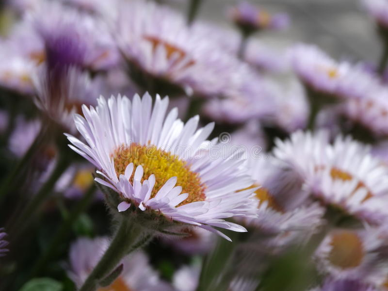 Flor branca e cor-de-rosa imagens de stock