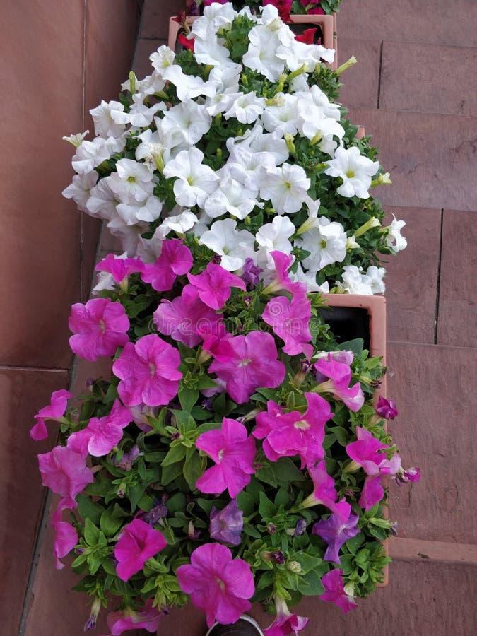Flor branca e cor-de-rosa da cor fotos de stock