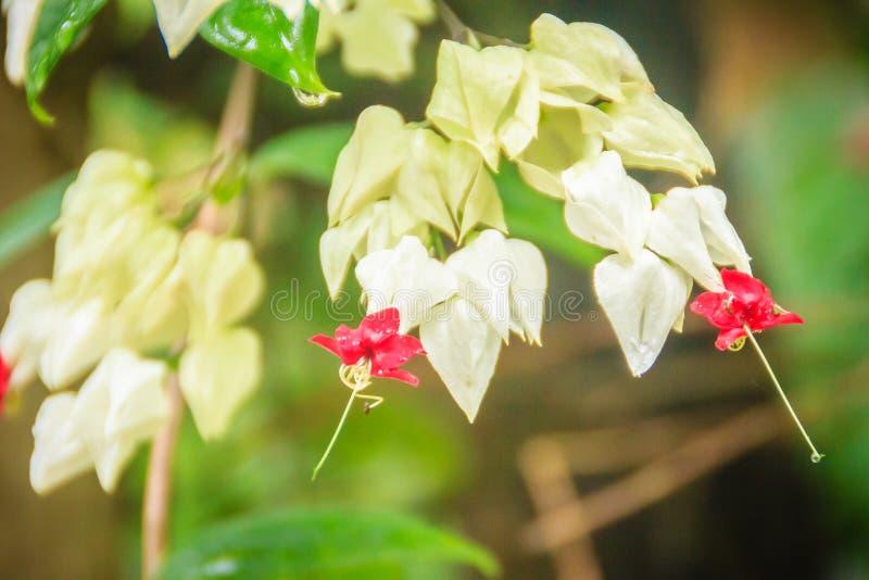 Flor branca e vermelha da videira do sangramento-coração (thomsoniae de Clerodendrum) com fundo verde Thomsoniae de Clerodendrum  fotografia de stock royalty free