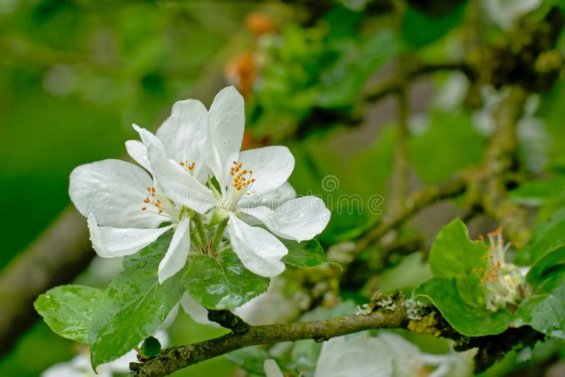 A flor branca grande do prunus da mola com chuva goteja o close-up, foco seletivo foto de stock royalty free