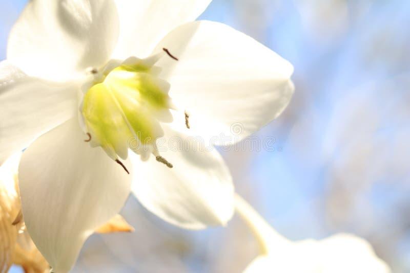 Flor branca isolada foto de stock