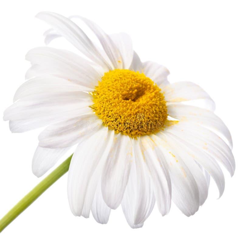 Flor branca isolada fotografia de stock