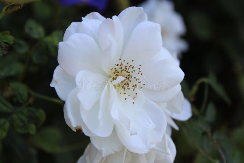 Flor branca lindo fotografia de stock