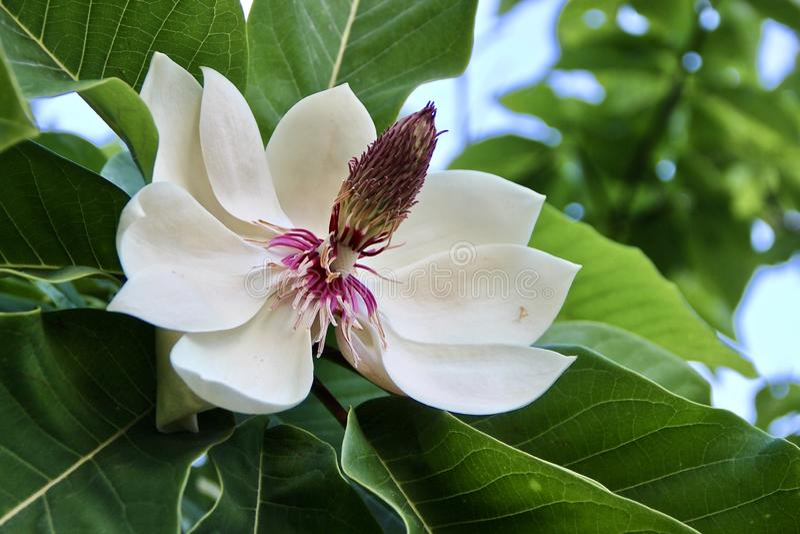 Flor branca magnífica da magnólia, maravilhas da natureza imagens de stock