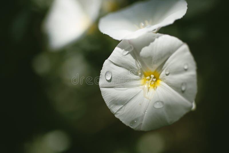 Flor branca no fim acima imagem de stock royalty free