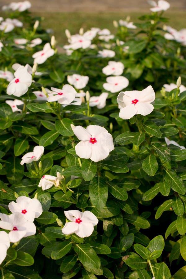 Flor branca no jardim imagem de stock royalty free