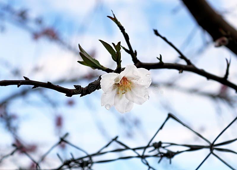 Flor branca no parque, Larnaca da amêndoa, Chipre fotografia de stock royalty free
