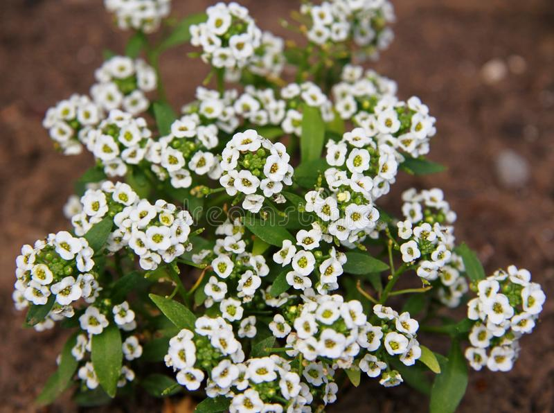 Flor branca pequena imagem de stock royalty free