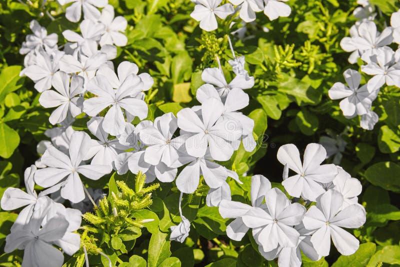 Flor branca que floresce no jardim com folha, plumbagina do cabo ou o Leadwort verde do cabo imagem de stock