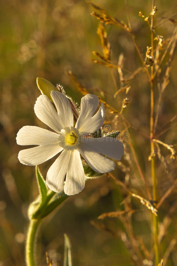 Flor branca selvagem fotos de stock royalty free