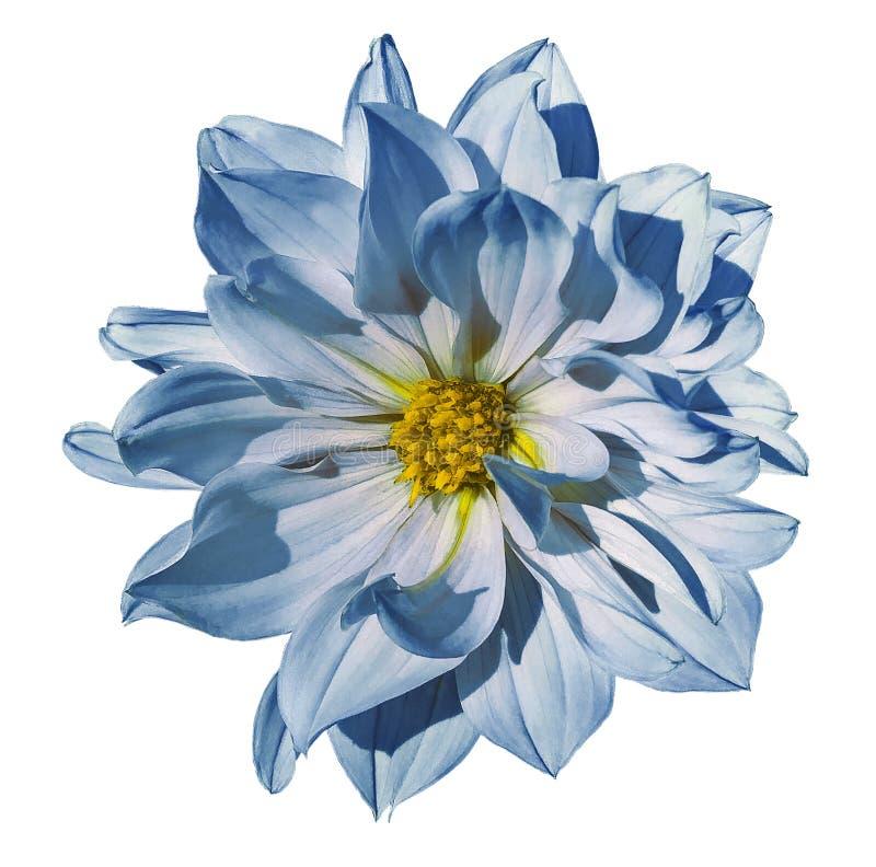 Flor Branco-azul da dália em um fundo branco isolado com trajeto de grampeamento closeup Nenhumas sombras imagens de stock