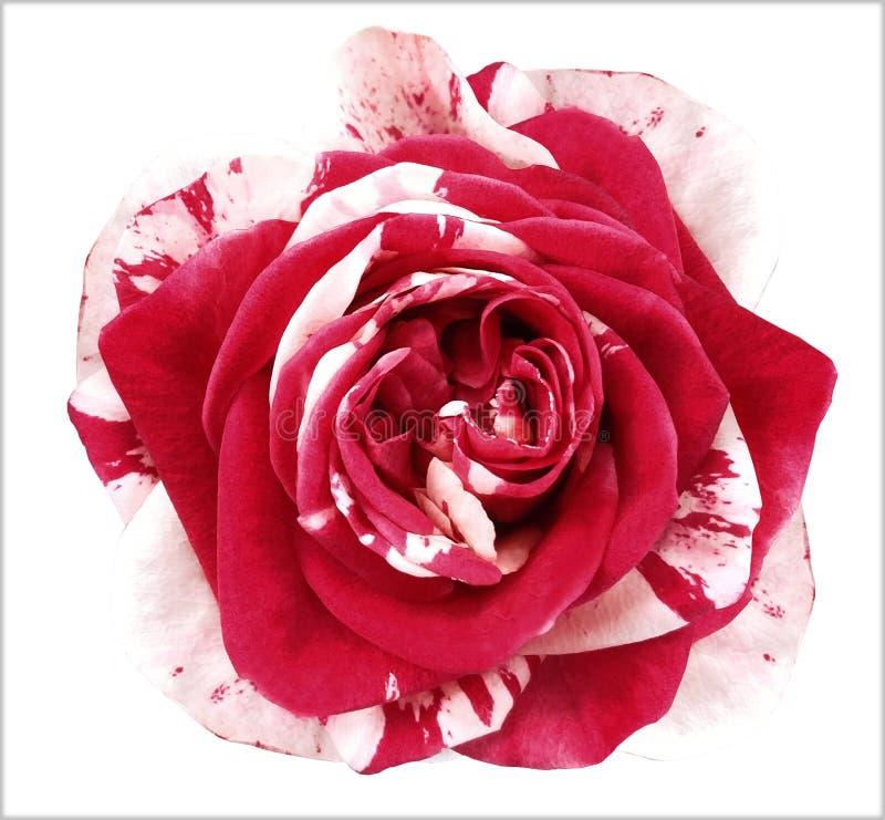 a flor Branco-vermelha da rosa no branco isolou o fundo com trajeto de grampeamento Nenhumas sombras closeup fotografia de stock royalty free