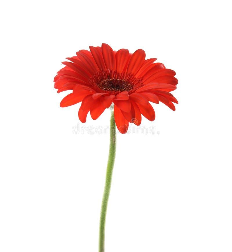 Flor brilhante bonita do gerbera no branco imagem de stock
