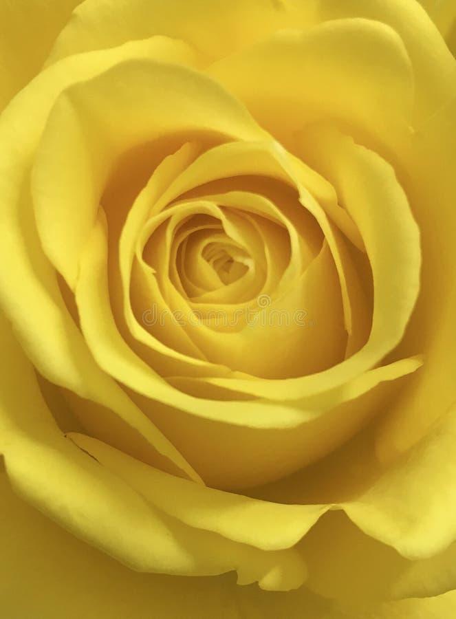 Flor brilhante da rosa do amarelo imagem de stock royalty free