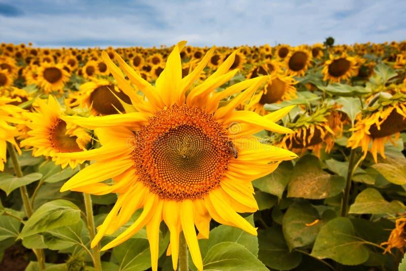 Flor brilhante e aromática em um campo de exploração agrícola, céu azul profundo nebuloso do helianthus annuus do verão, abelha q fotografia de stock royalty free