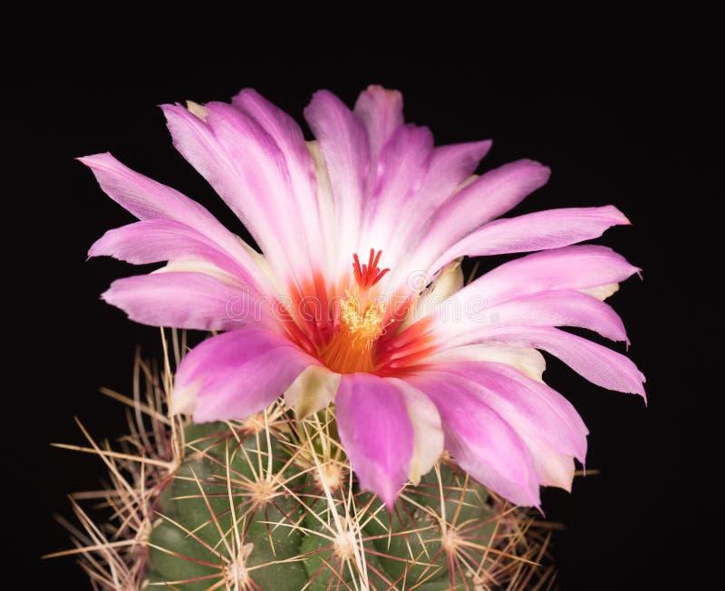 Flor brillante del cactus foto de archivo