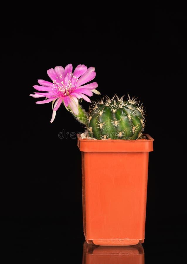 Flor brillante del cactus imagenes de archivo