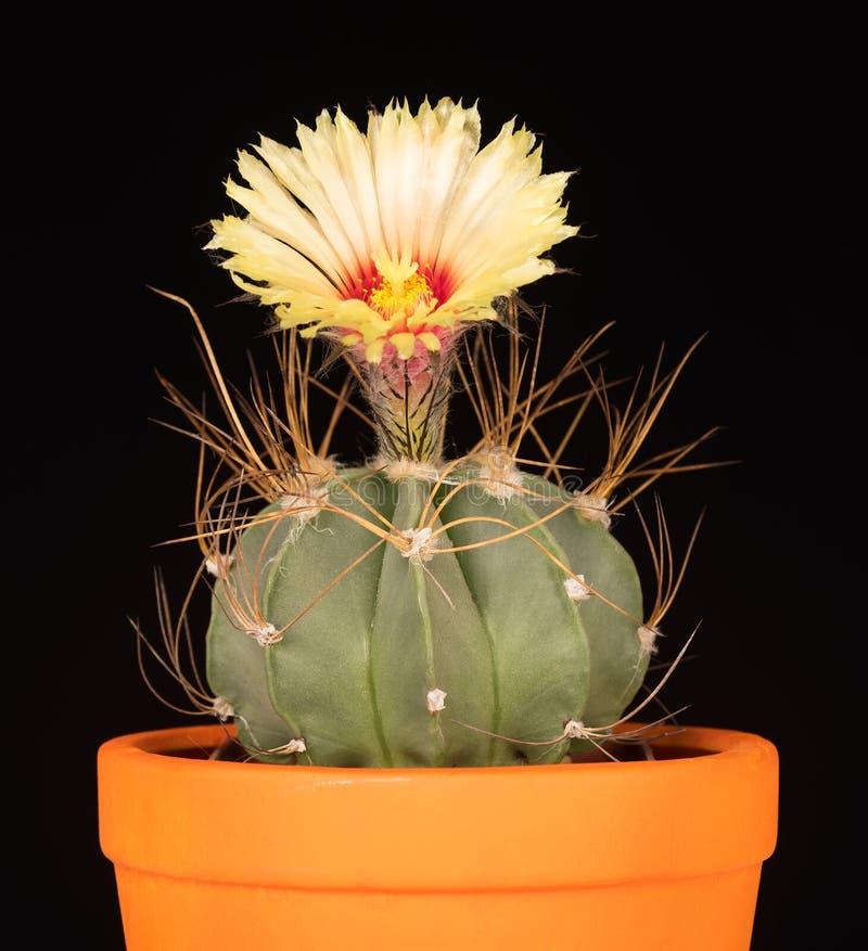Flor brillante del cactus fotografía de archivo