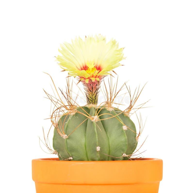 Flor brillante del cactus fotografía de archivo libre de regalías