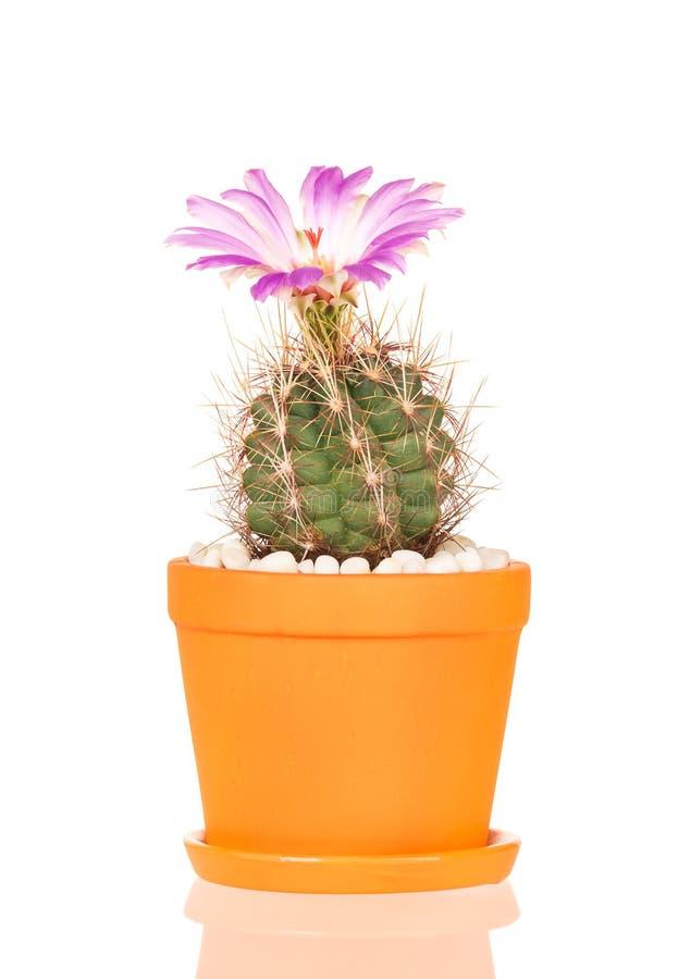 Flor brillante del cactus fotos de archivo libres de regalías