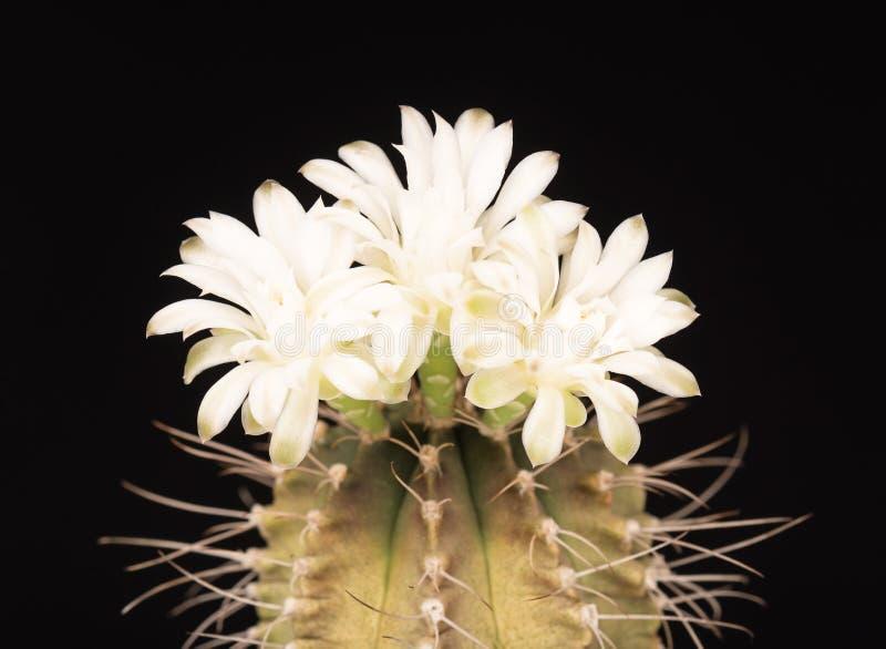 Flor brillante del cactus imágenes de archivo libres de regalías