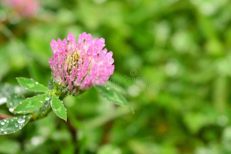 Flor brillante hermosa en el rocío en hierba imágenes de archivo libres de regalías
