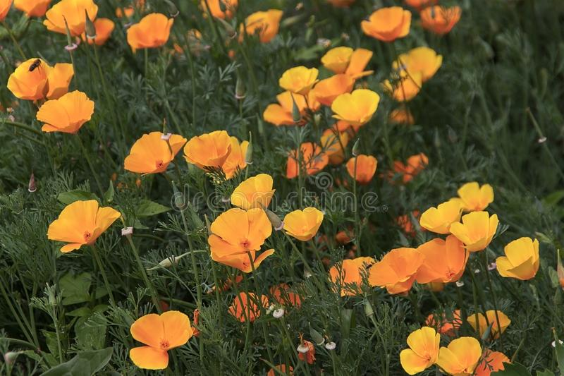 Flor californiana anaranjada o amapola de oro California de la amapola fotografía de archivo libre de regalías
